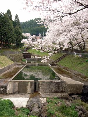ku:nel(vol.10)長尾智子さんの波佐見日記にも登場したプール(防火水槽)も桜の季節です。
